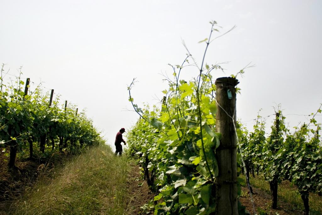 vīna lauks
